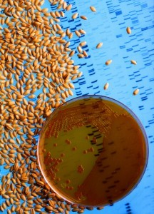 Genetic Engineering - Wheat Evolution